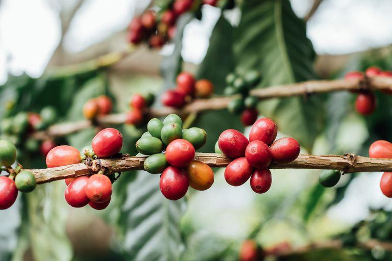 Το 60% του καφέ απειλείται από εξαφάνιση