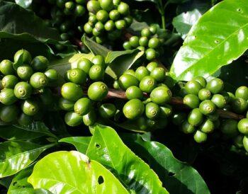 Ο αντίκτυπος του Covid-19 στις χώρες εξαγωγής καφέ