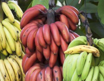 Τι είναι οι κόκκινες μπανάνες;